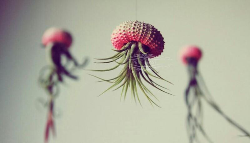 Medusa plantas colgantes