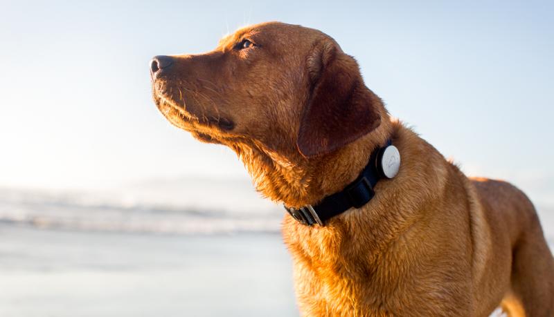 Whistle monitoriza tu perro mediante GPS